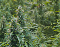 Cannasouth industrial hemp trial
